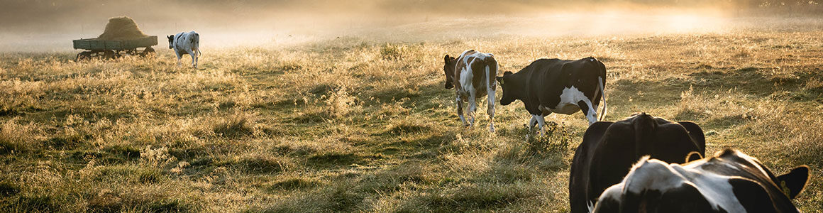 Dairy Cows in the pasture.